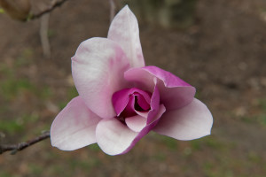 Magnolia petals unfold as a spiral.